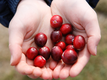 About the Cranberry